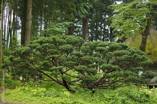 Obraz na plátně A big tree of yew