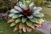 Large Alcantarea  Bromeliad Fr...