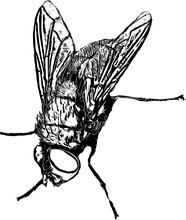 The Housefly  (Musca Domestica)