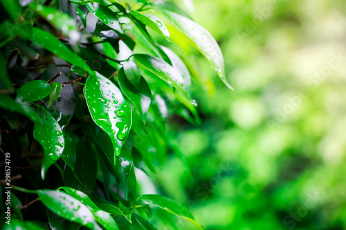 Autocollant pour porte Arbre Abstract nature backgroud of water drop on green leaf after rain at sunset time on blurred greenery background in garden with copy space using as background natural green plants ,Ecology wallpaper.