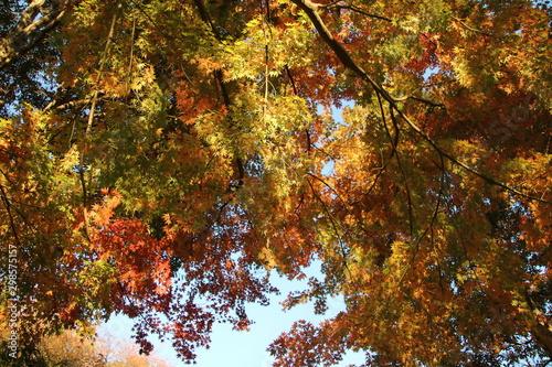 紅葉する森を見上げる Canvas Print