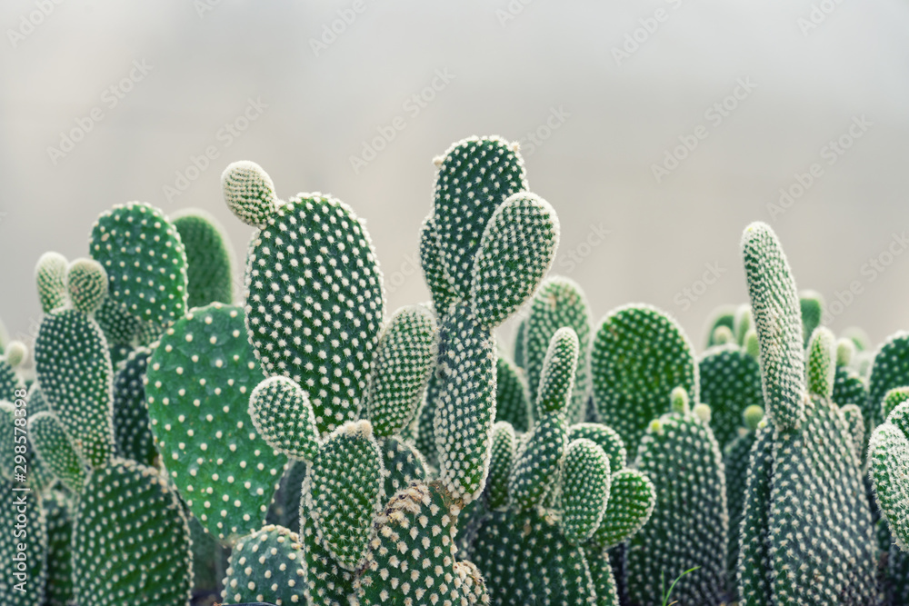 Fototapety, obrazy: Close-up of Opuntia Cactus plant in the farm with copy space.