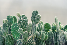 Close-up Of Opuntia Cactus Pla...