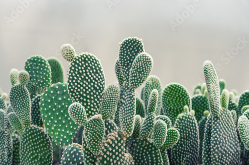 Fotografia Close-up of Opuntia Cactus plant in the farm with copy space.