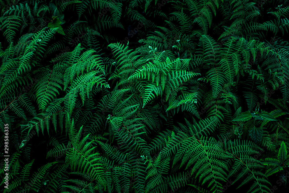 Fototapeta abstract green fern leaf texture, nature background, tropical leaf
