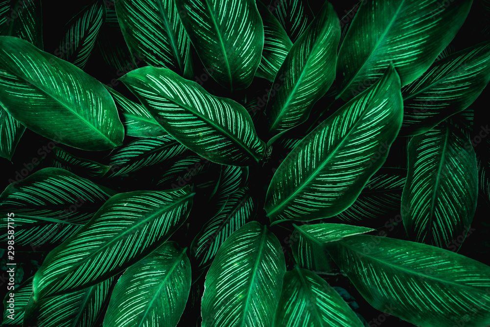 Fototapety, obrazy: Calathaea picturata, abstract green leaf texture, nature background, tropical leaf