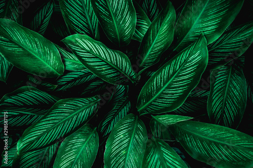 Calathaea picturata, abstract green leaf texture, nature background, tropical le Fototapet