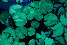 Closeup Beautiful Lotus Leaf In Pond, Purity Nature Background, Lotus Water Lily Blooming On Water Surface And Dark Blue Leaves Toned
