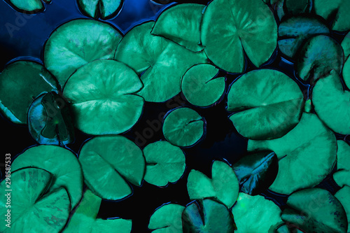 Door stickers Water lilies closeup beautiful lotus leaf in pond, purity nature background, lotus water lily blooming on water surface and dark blue leaves toned
