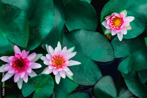 Deurstickers Waterlelies closeup beautiful lotus flower and green leaf in pond, purity nature background, red lotus water lily blooming on water surface and dark blue leaves toned