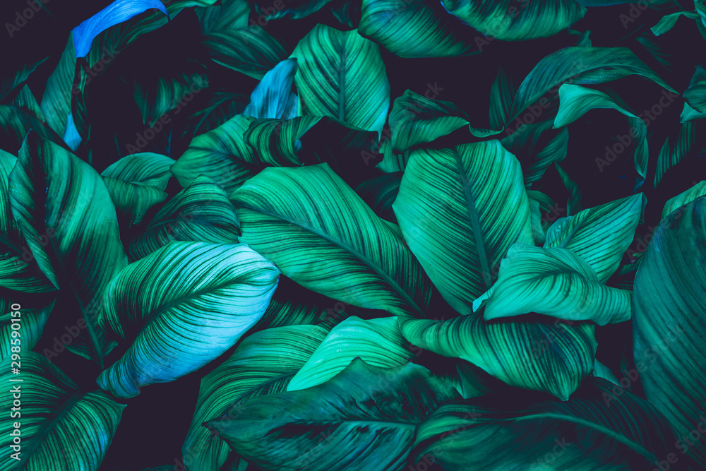 Fototapety, obrazy: leaves of Spathiphyllum cannifolium, abstract green texture, nature background, tropical leaf