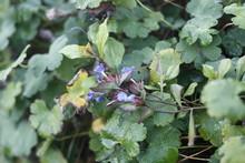 Geranium Renardii - Geraniaceae Kaukasus-Storchschnabel