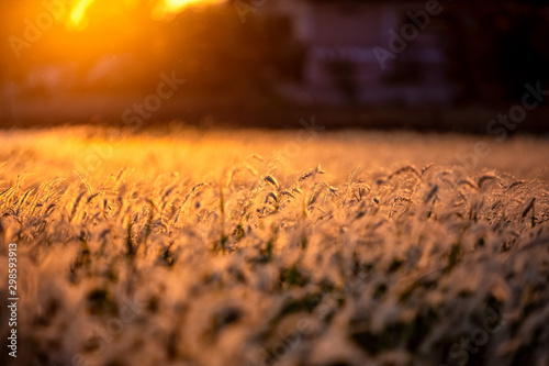 Foto auf Leinwand Schokobraun White dry autumn grass on meadow Close-Up with bright sunlight. .