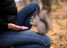 Brave Squirrel Is Eatting Nuts On Human Knees In Urban Park In Autumn. Selective Focus.