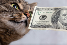 Grey Tabby Cat Sniffing A Hundred Dollar Banknote Close-up