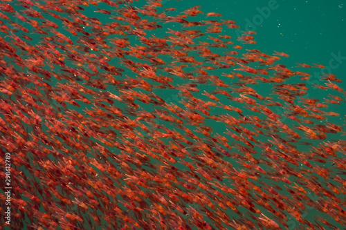 small lobster krill swarm in blue sea water Wallpaper Mural