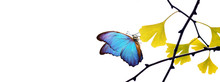 Blue And Yellow Colors Concept. Blue Morpho Butterfly On A Yellow Leaf. Yellow Ginkgo Biloba Leaves On Tree Branches In Autumn On A White. Copy Spaces