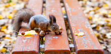 Red Squirrel With A Hazelnut, ...