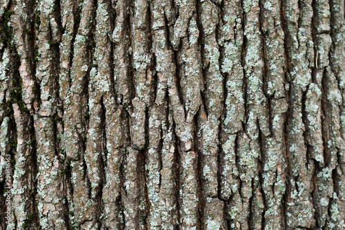 Big old Maple tree trunk bark texture pattern with moss Canvas Print