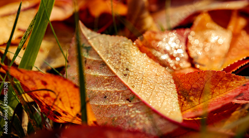 Fotografía  red autumn leaves fallen to the ground