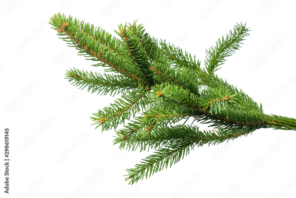 Fototapeta Small green spruce branch isolated on white background