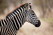 Burchell's Zebra (Equus Burchelli) Portrait In Profile. Satara, Kruger Park, South Africa