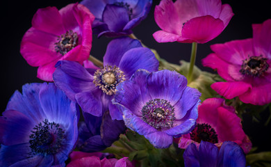 Fototapeta Kwiaty vintage pink violet blue anemone bouquet on black background, fine art still life blossoms with green stems,leaves and detailed texture