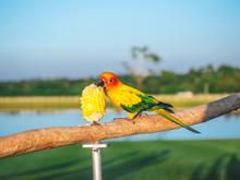 Beautiful Bird Pet Sun Conure ...