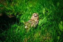 Owl Sits In The Green Grass On Sunny Day Outdoors. Little Owl With Open Beak, Close-up.