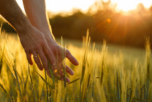 Farmer's Hands Touch Young Whe...