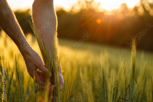 Obraz Farmer's hands touch young wheat in the sunset light - fototapety do salonu