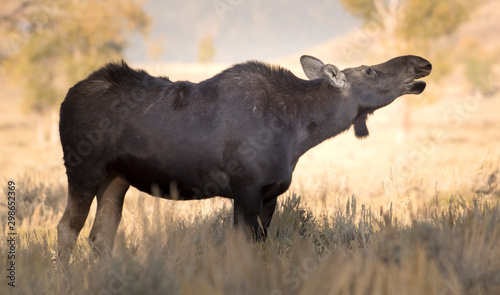 Cow moose breathing the morning air in Grand Teton National Park Wallpaper Mural