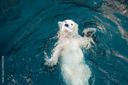 Recess Fitting Polar bear Polar bear swims in cold blue water and holding food in his mouth. Close-up photo of floating white bear that looking at the camera.