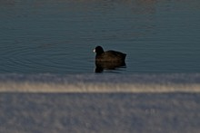 American Coot In Fresh Snow