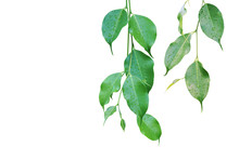 Ficus Green Leaves With Rain Water Drops Isolated On White Background
