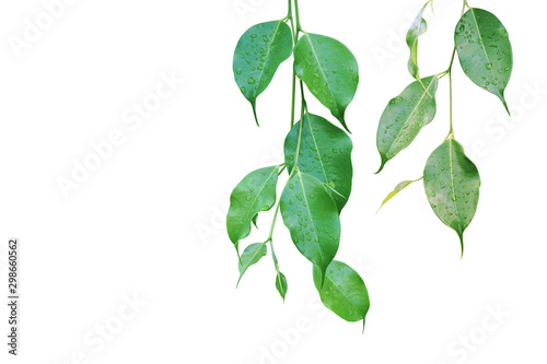 Fotografía  Ficus Green Leaves with Rain Water Drops Isolated on White Background