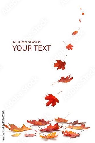 autumn season concept, maple leaf isolated on white background Canvas