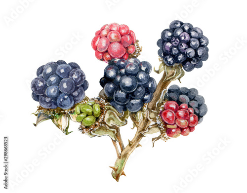 Valokuva  Blackberry branch with tasty juicy berries watercolor illustration