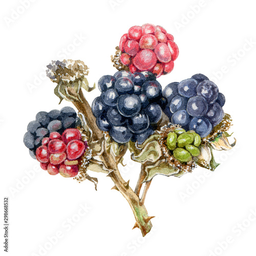 Blackberry branch with delicious ripe berries watercolor illustration Slika na platnu