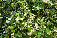 Clematis Vitalba Or Old Man's Beard Creeping Plant With White Flowers