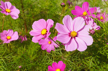 Cosmos Bipinnatus Or Mexican Asterpink Flowers