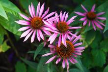 Echinacea Purpurea Pink Pearl ...