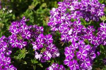 Verbena Lanai Purple Star Flow...