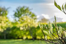 Shallow Focus Of New Buds Emerging From A Shrub As Seen In A Summer Garden.