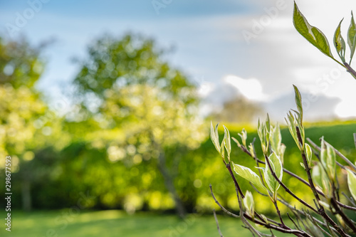 Shallow focus of new buds emerging from a shrub as seen in a summer garden Canvas Print
