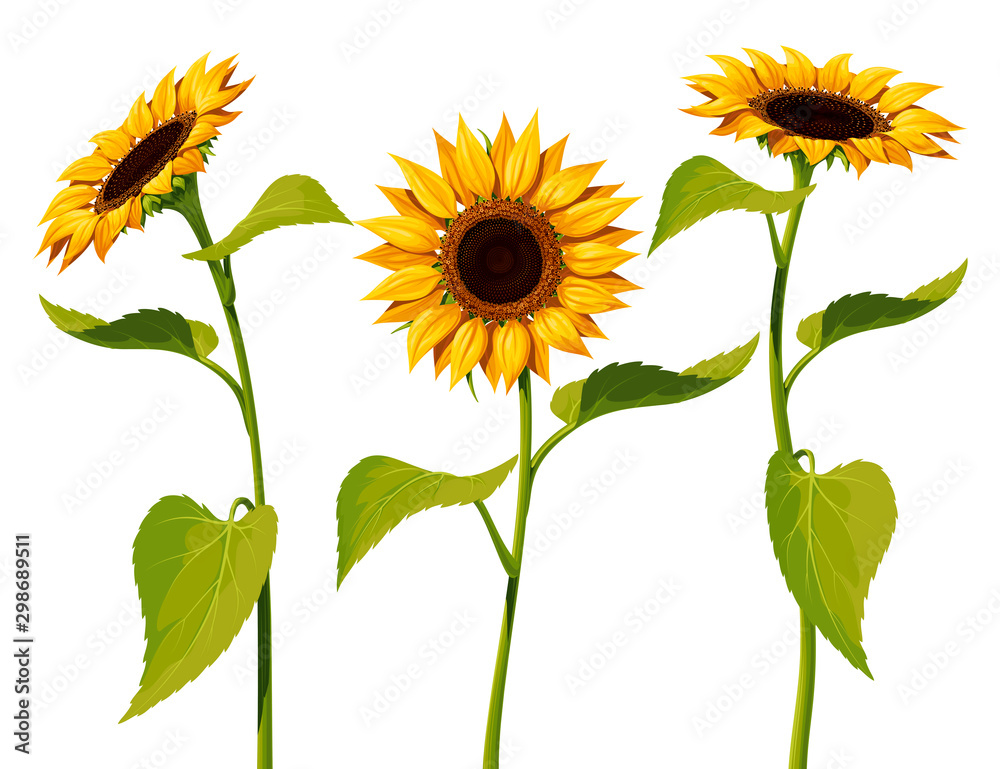 Fototapeta Three sunflower flowers with stems and leaves isolated on a white background