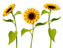 Three Sunflower Flowers With Stems And Leaves Isolated On A White Background