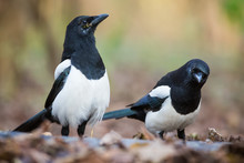 The Portrait Of Two Magpies