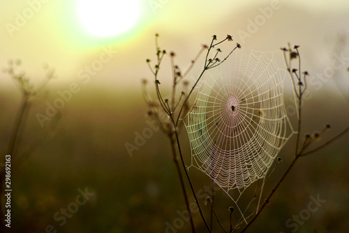 Spider woven web on bushes on a field at dawn. Fototapet