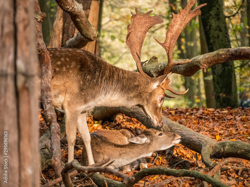 Fototapeta Portrait of fallow deer stag and doe. Autumn day. obraz